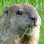 Keeping Woodchucks Out of Your Garden